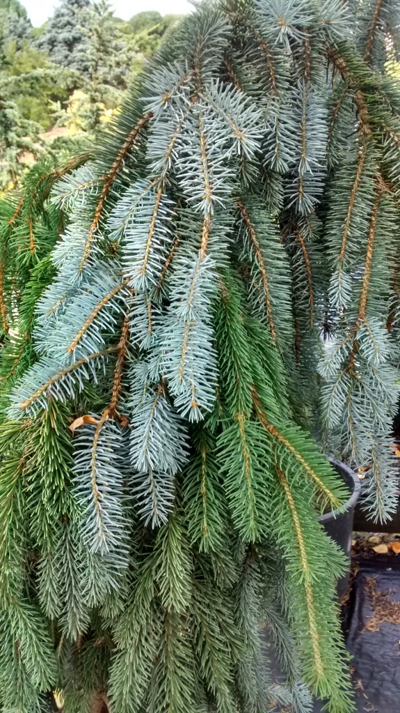 Double Graft Picea